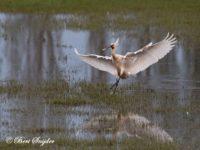 Lepelaar Vogelvakantie Portugal