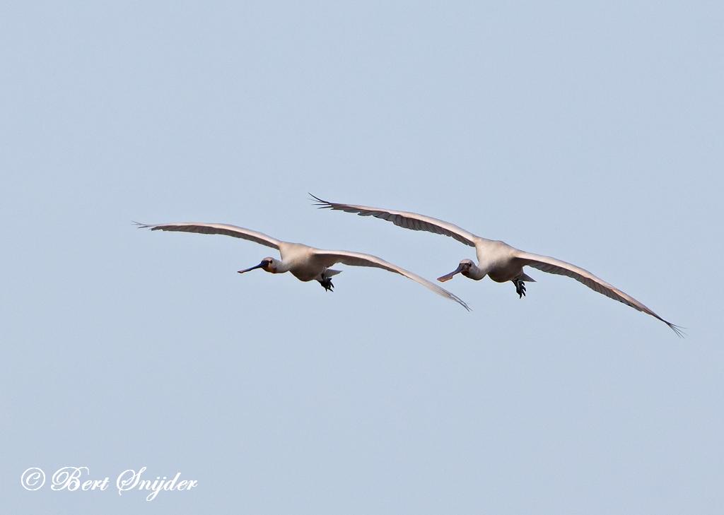Lepelaar Vogelkijkhut BSP3 Portugal