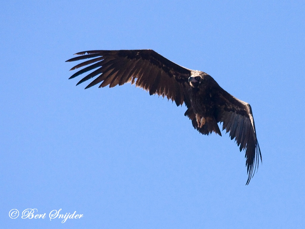 Monniksgier Vogelvakantie Portugal
