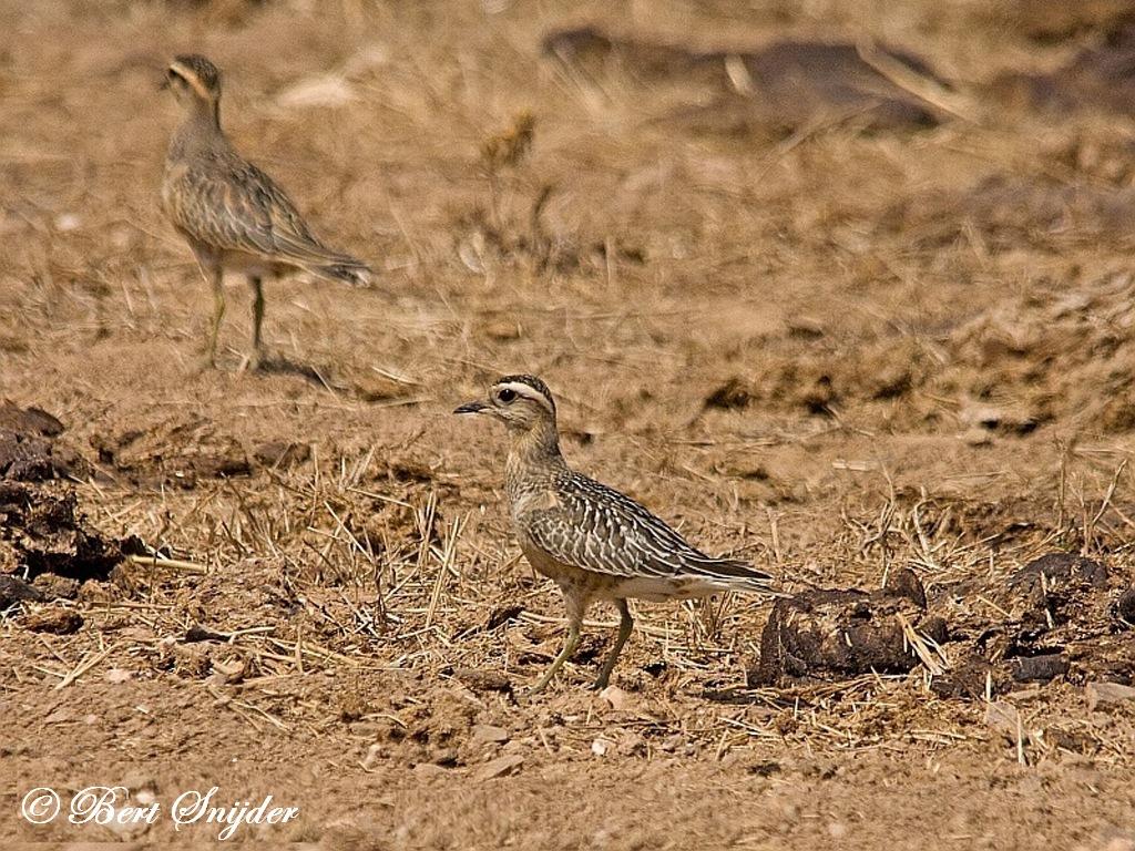 Morinelplevier Vogelreis Portugal
