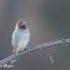 Muskaatvink Vogelreis Portugal