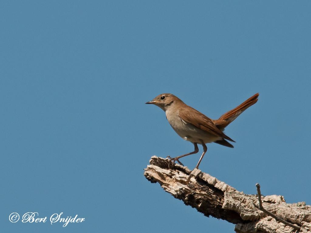 Nachtegaal Vogelvakantie Portugal