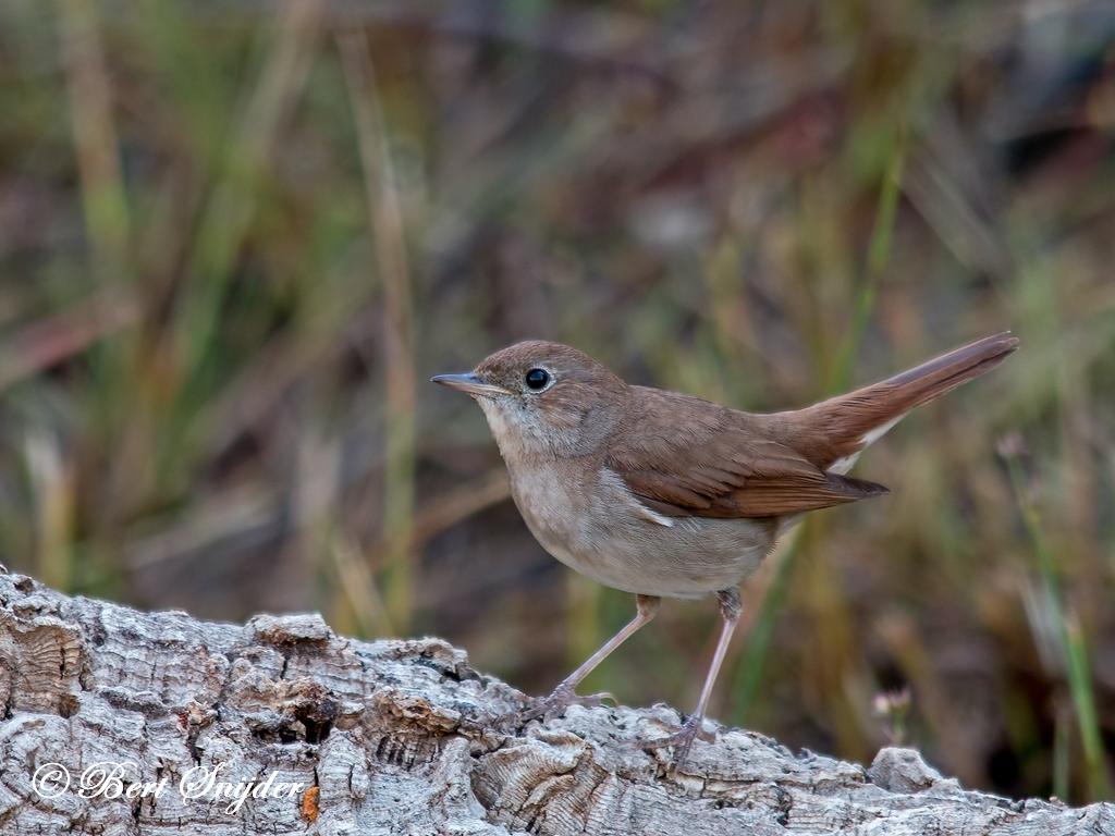 Nachtegaal Vogelhut BSP1 Portugal