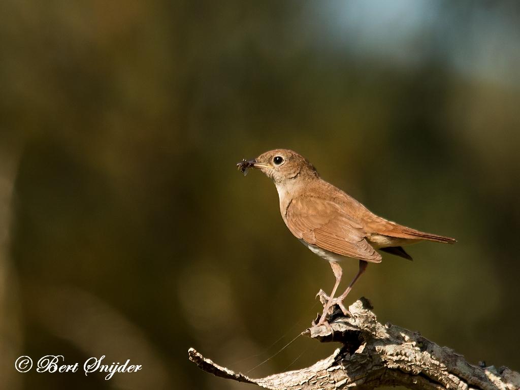 Nachtegaal Vogelreis Portugal