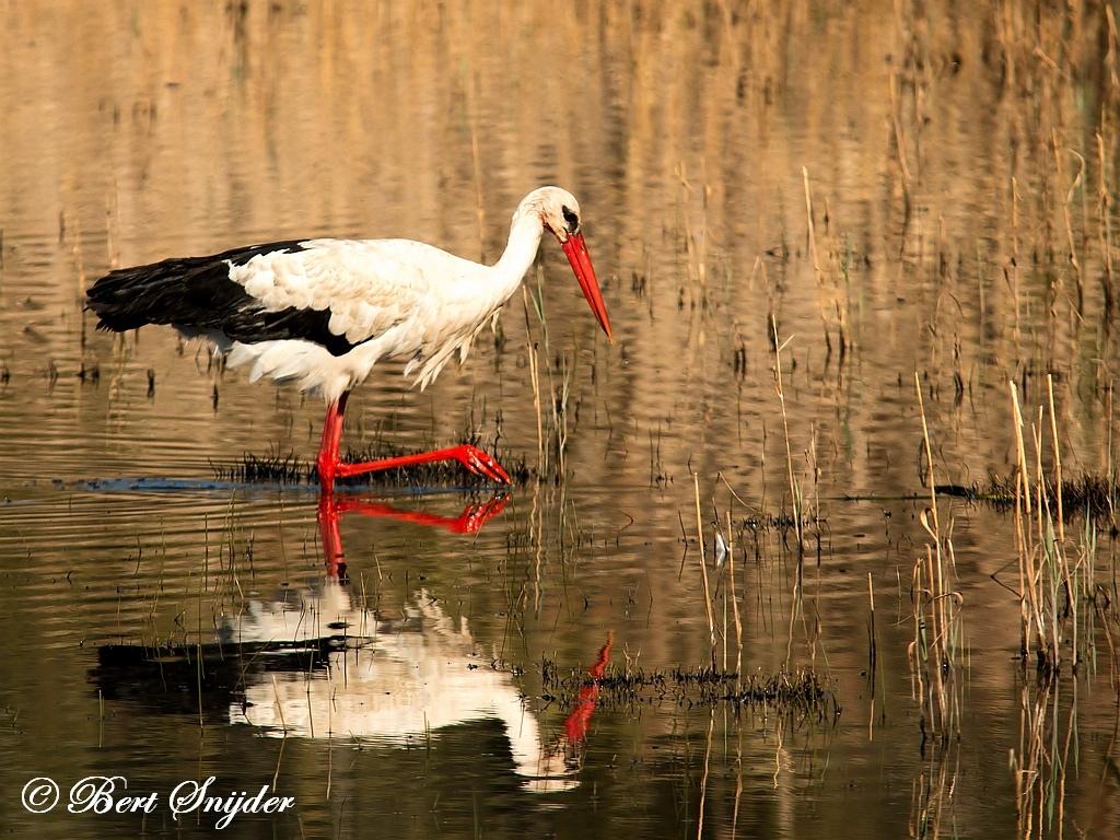 Ooievaar Vogelreis Portugal