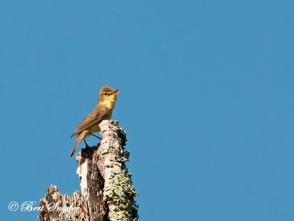 Orpheusspotvogel Vogelreis Portugal