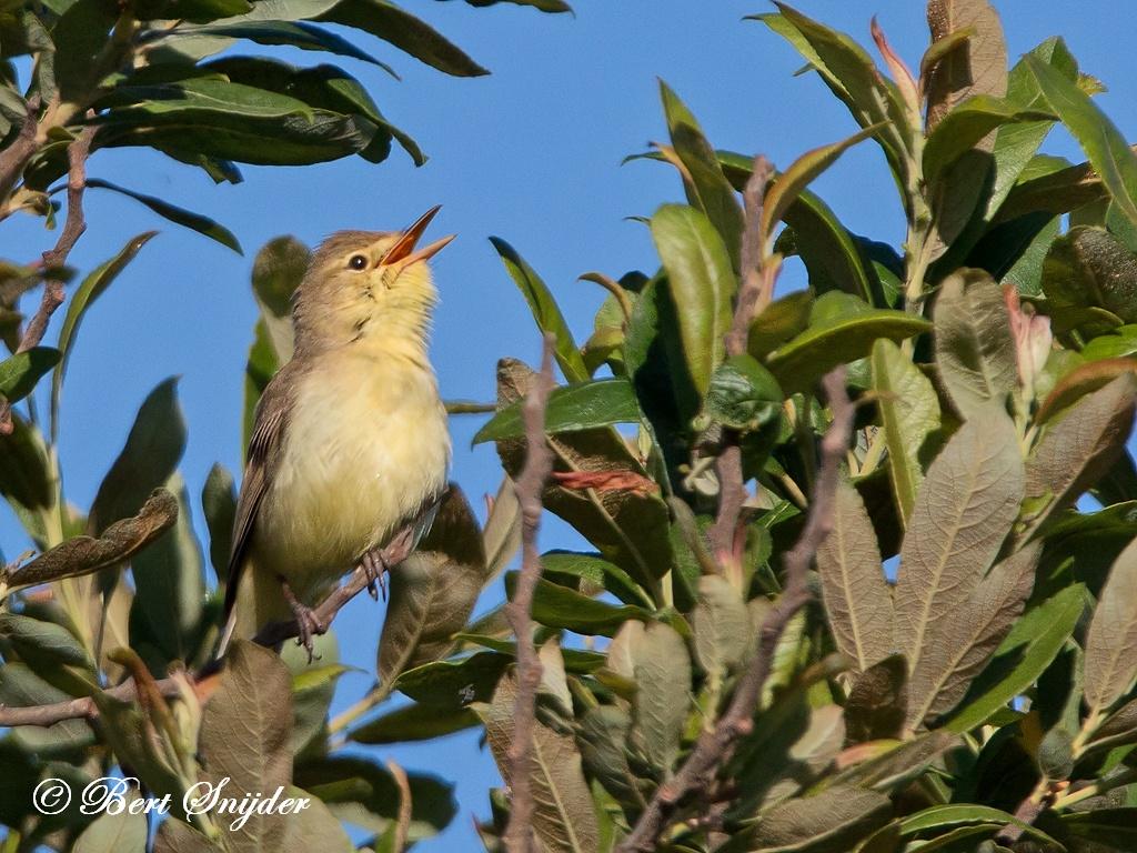 Orpheusspotvogel Vogelvakantie Portugal