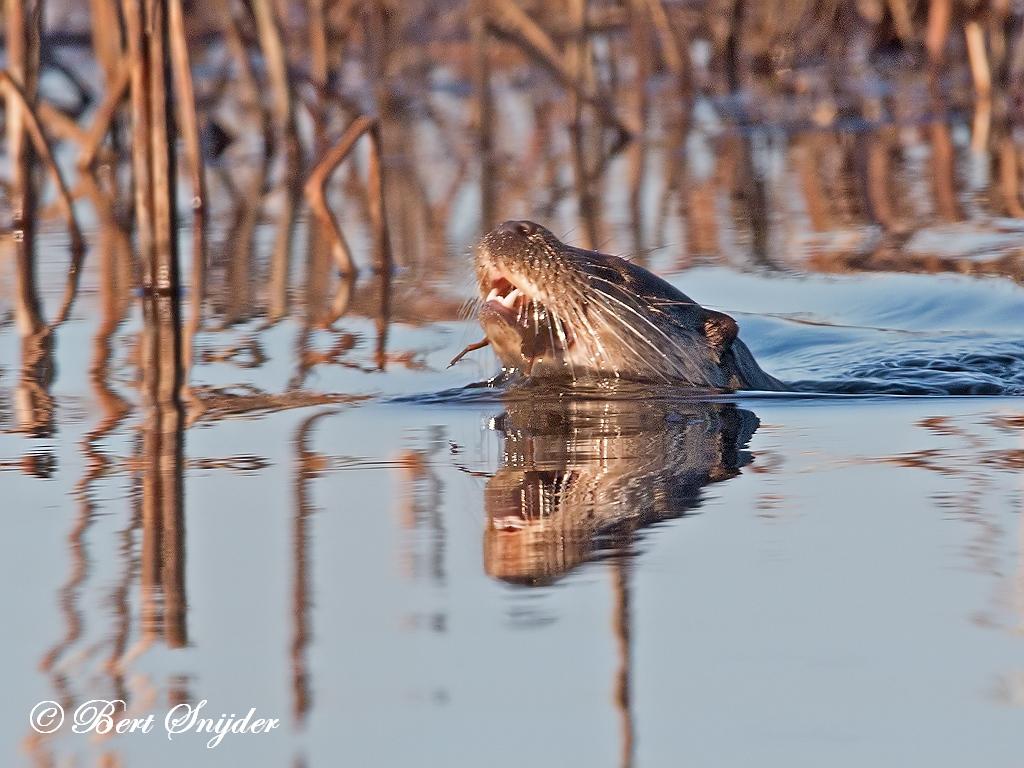 Otter Vogelkijkhut BSP3 Portugal