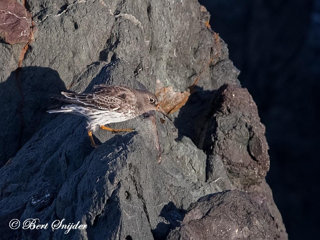 Paarse Strandloper Vogelreis Portugal