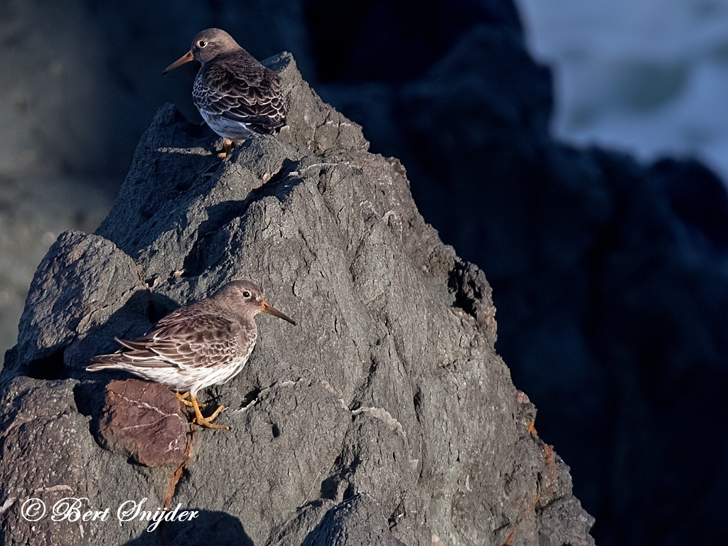 Paarse Strandloper Vogelvakantie Portugal
