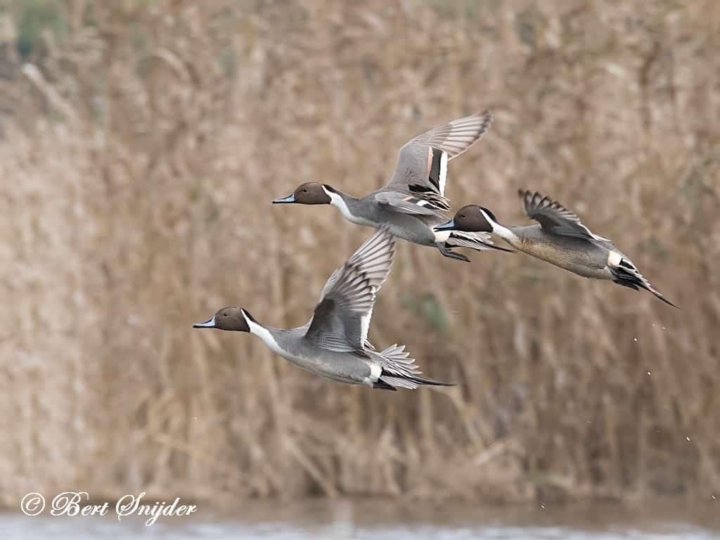 Pijlstaart Vogelreis Portugal