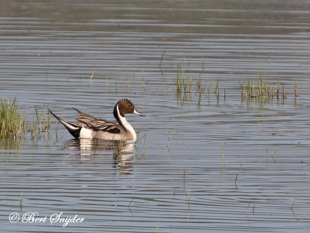 Pijlstaart Vogelvakantie Portugal