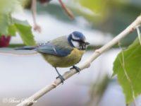 Pimpelmees Vogelreis Portugal
