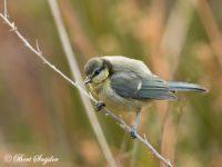 Pimpelmees Vogelvakantie Portugal