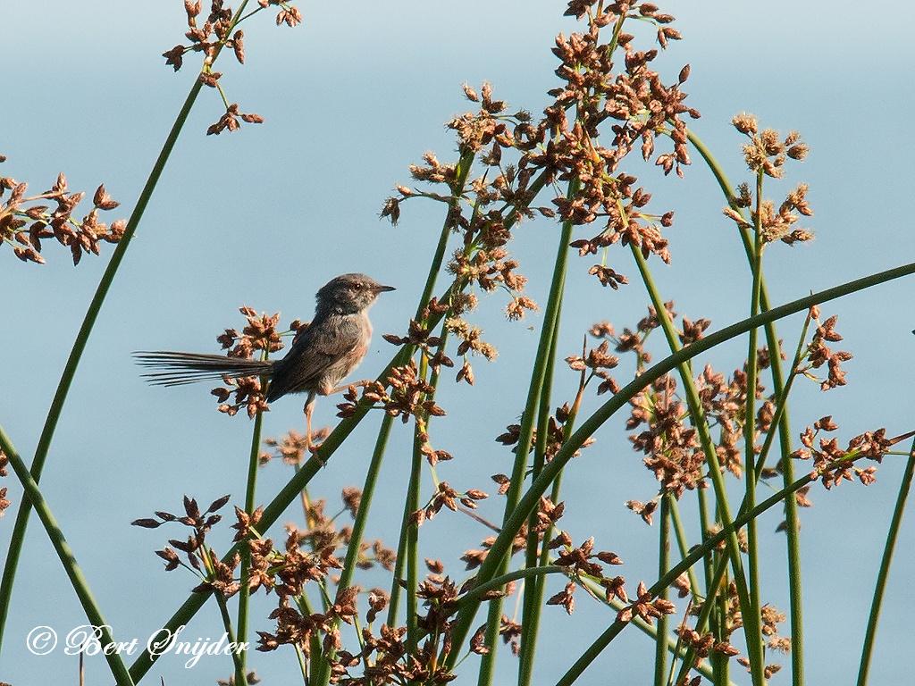 Provencaalse Grasmus Vogelreis Portugal
