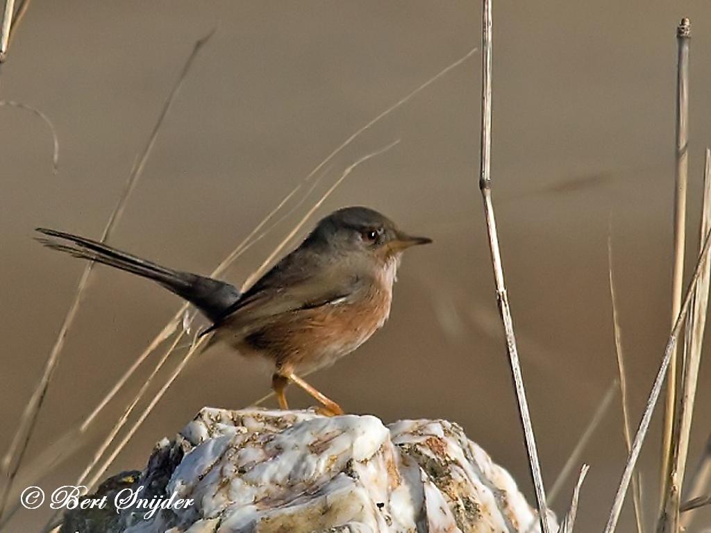 Provencaalse Grasmus Vogelvakantie Portugal