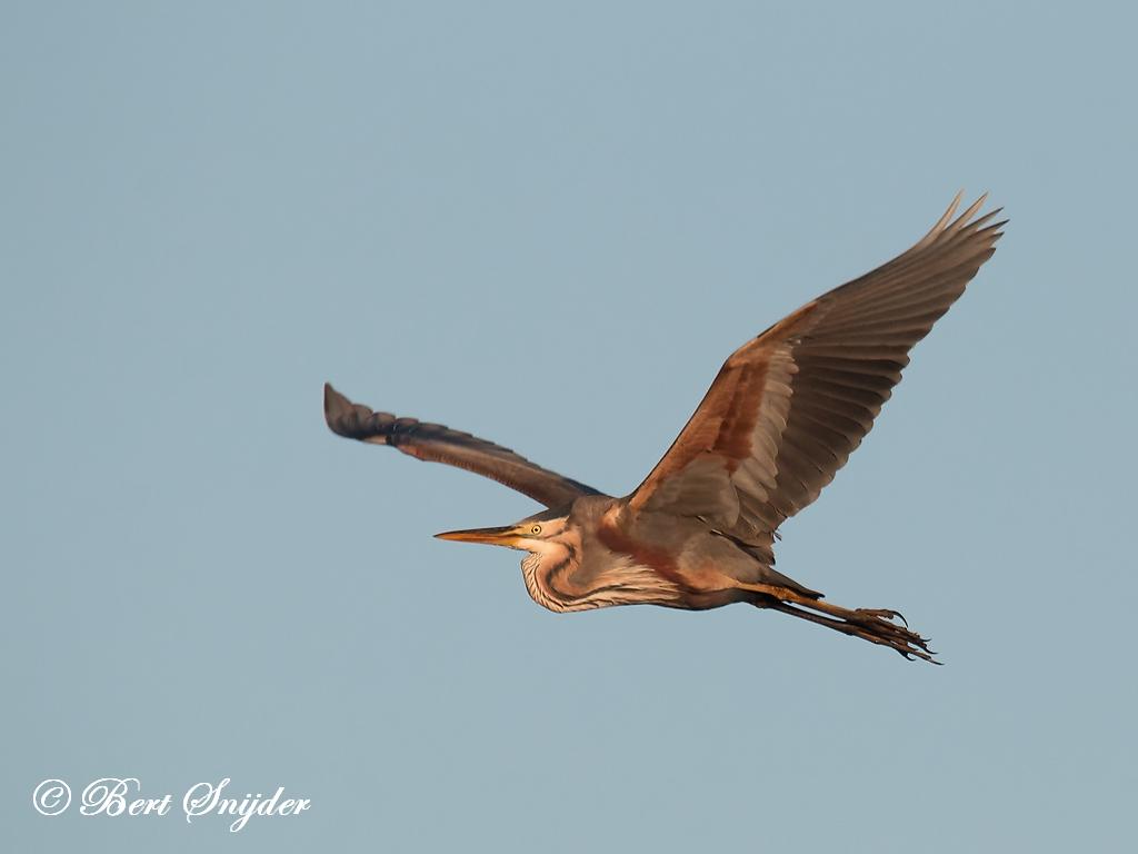 Purperreiger Vogelvakantie Portugal