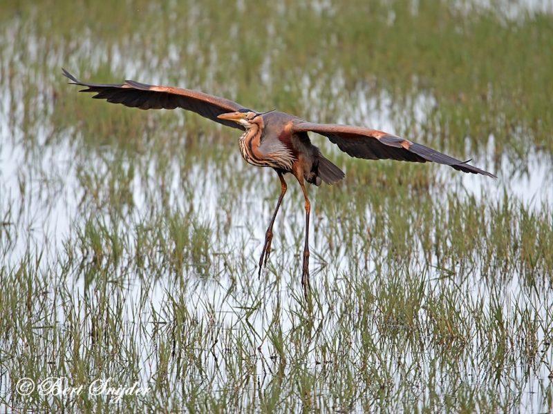 Purperreiger Vogelreis Portugal