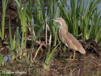 Ralreiger Vogelfotografie reis Portugal
