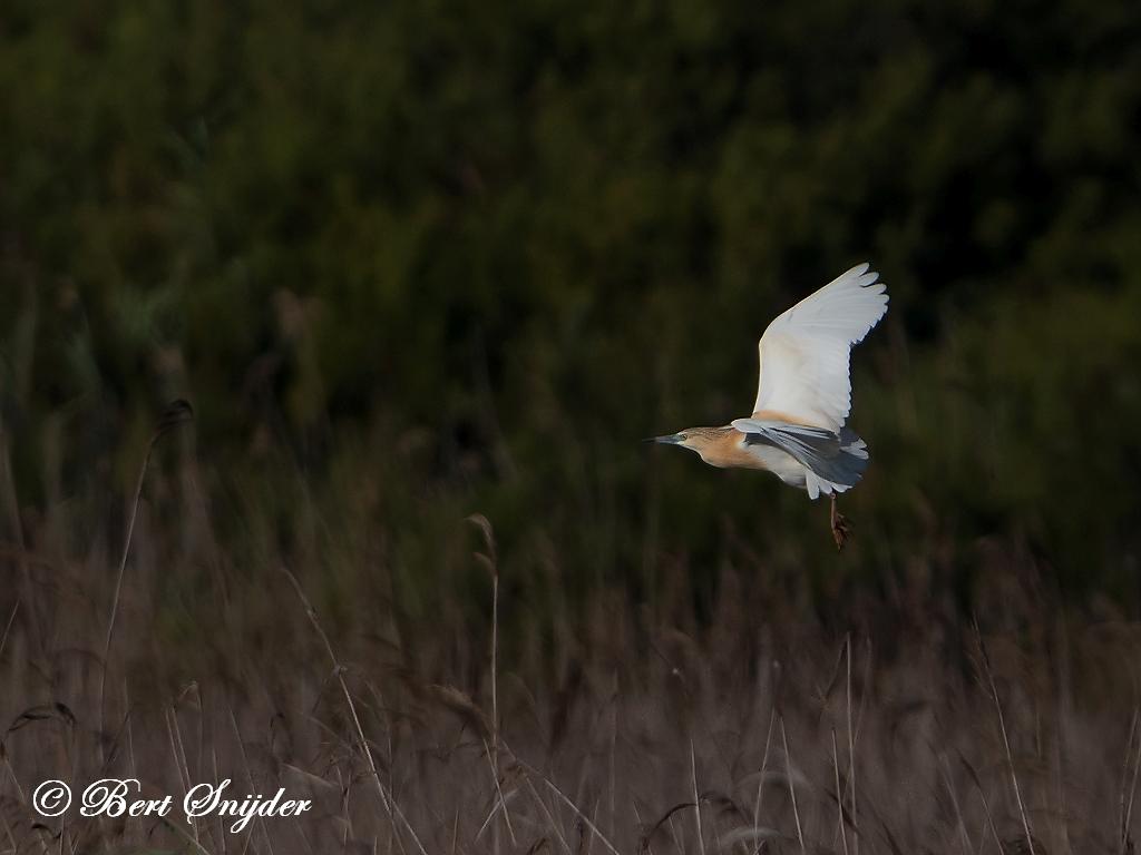 Ralreiger Vogelhut BSP3 Portugal
