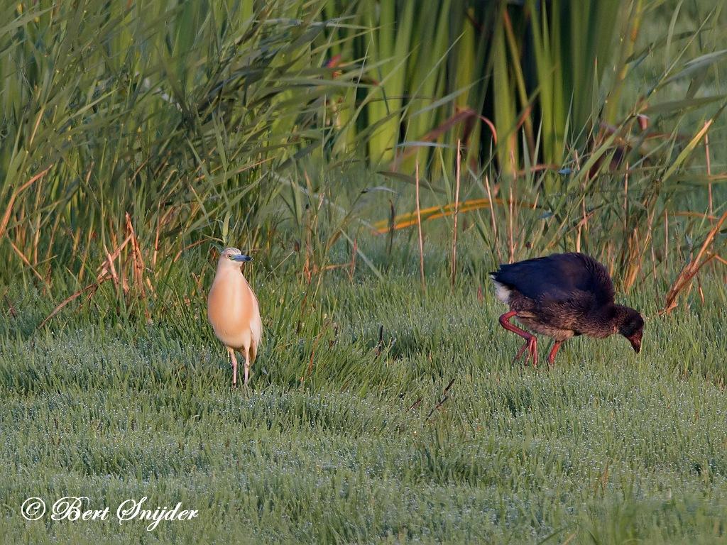 Ralreiger Vogelvakantie Portugal