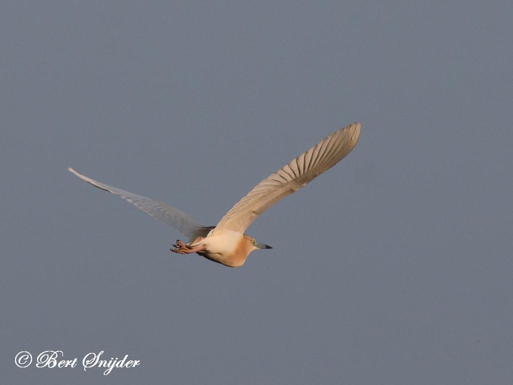 Ralreiger Vogelreis Portugal