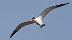 Reuzenstern Vogelhut BSP2 Portugal