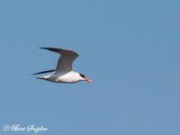 Reuzenstern Vogelfotografie reis Portugal