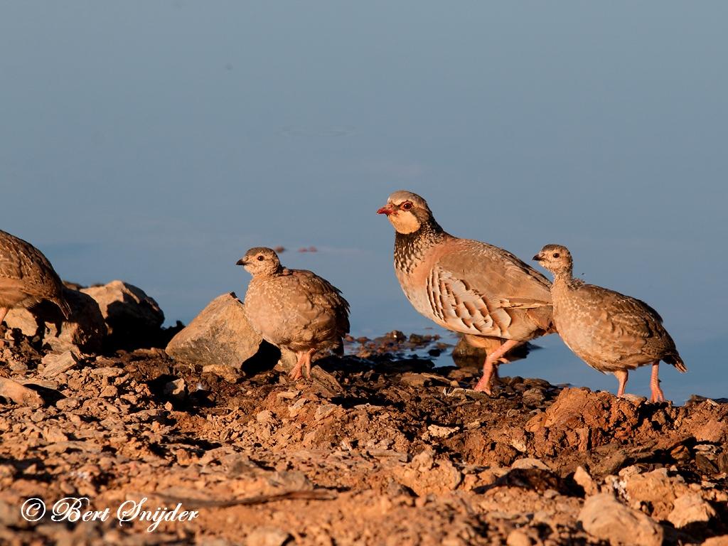 Rode Patrijs Vogelreis Portugal