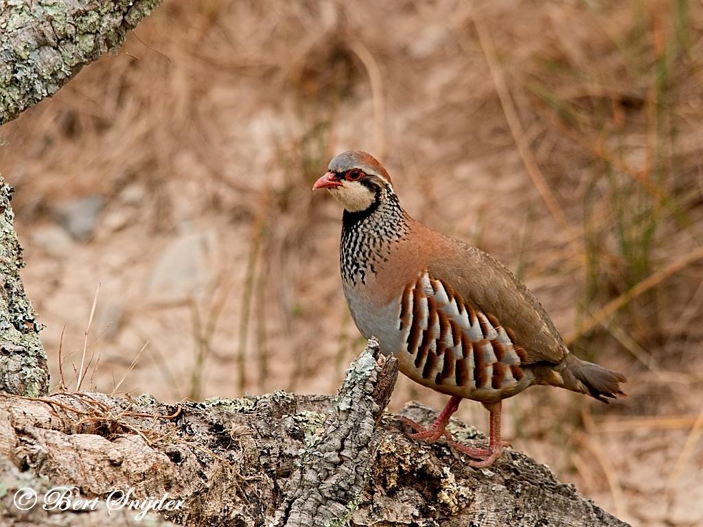 Rode Patrijs Vogelvakantie Portugal