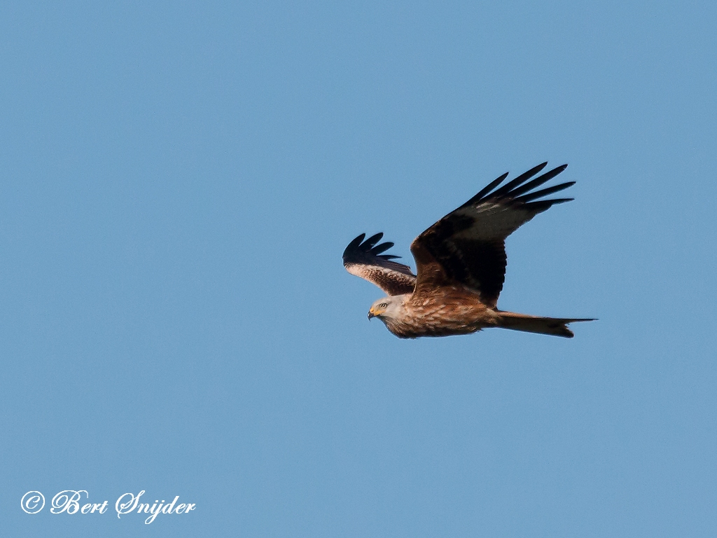 Rode Wouw Vogelhut BSP5 Portugal