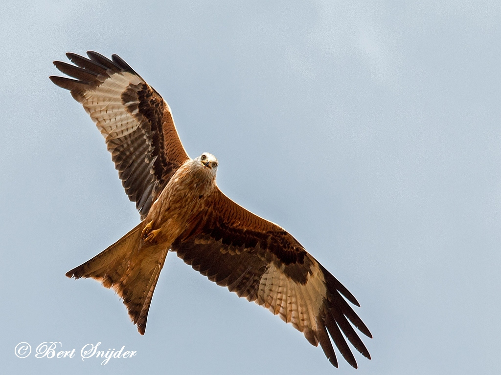 Rode Wouw Vogelvakantie Portugal