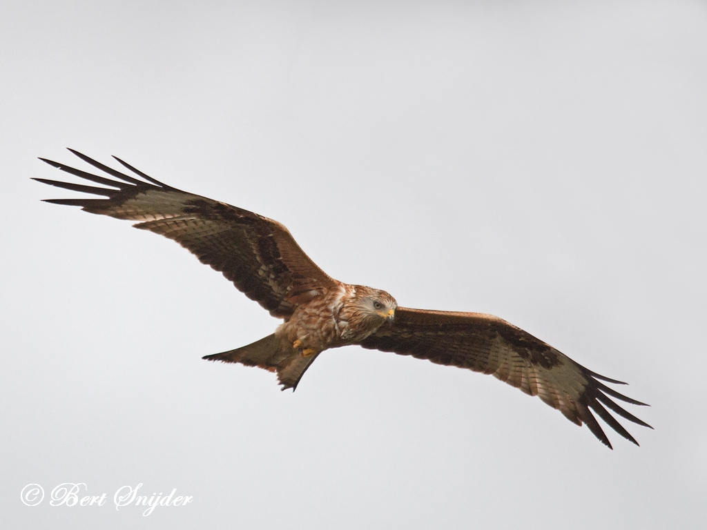 Rode Wouw Vogelhut BSP4 Portugal