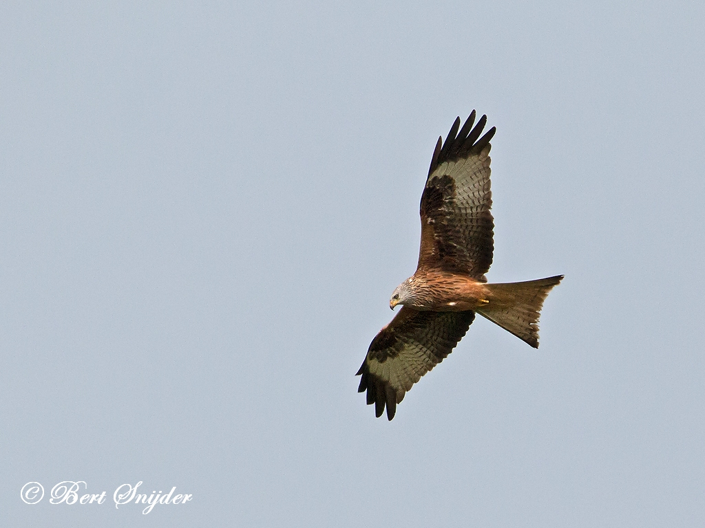 Rode Wouw Vogelhut BSP6 Portugal
