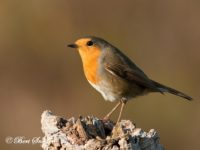 Roodborst Vogelreis Portugal