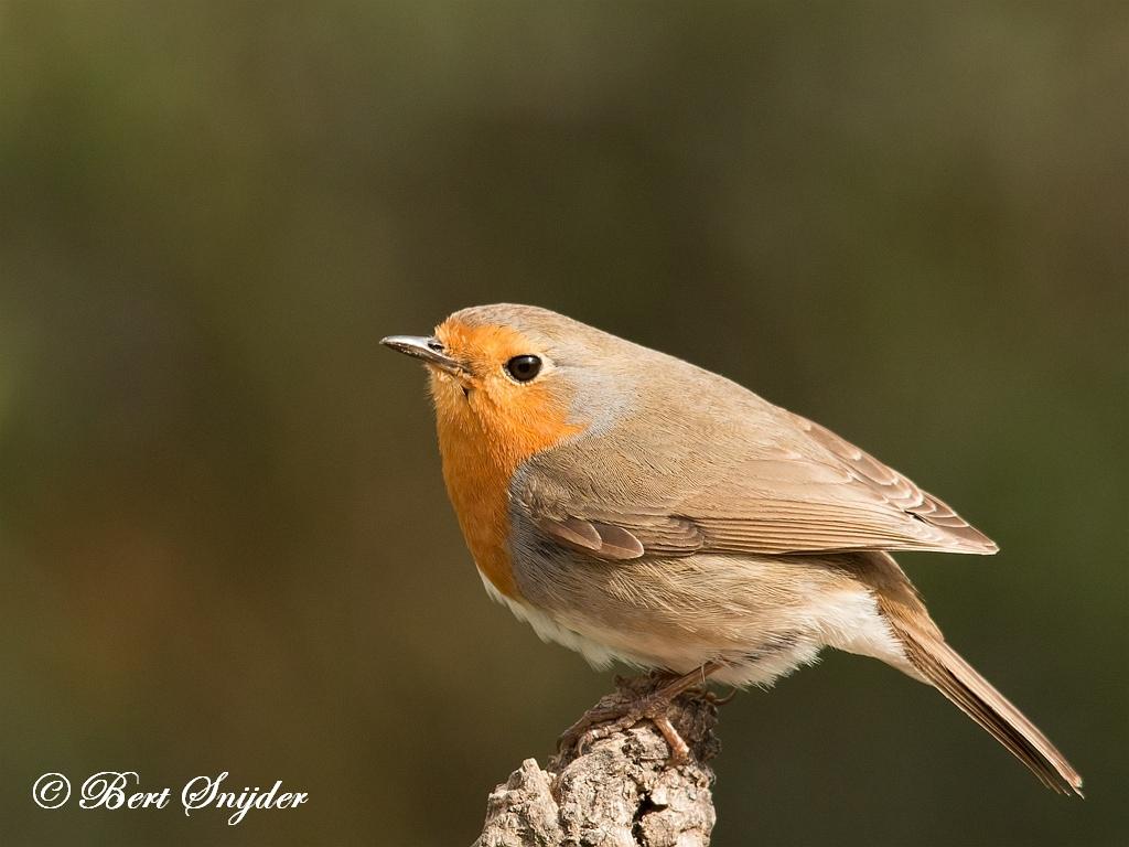 Roodborst Vogelvakantie Portugal