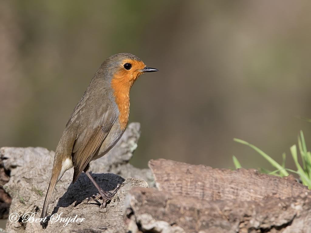 Roodborst Vogels Portugal