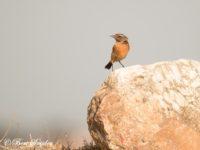 Roodborsttapuit Vogelvakantie Portugal