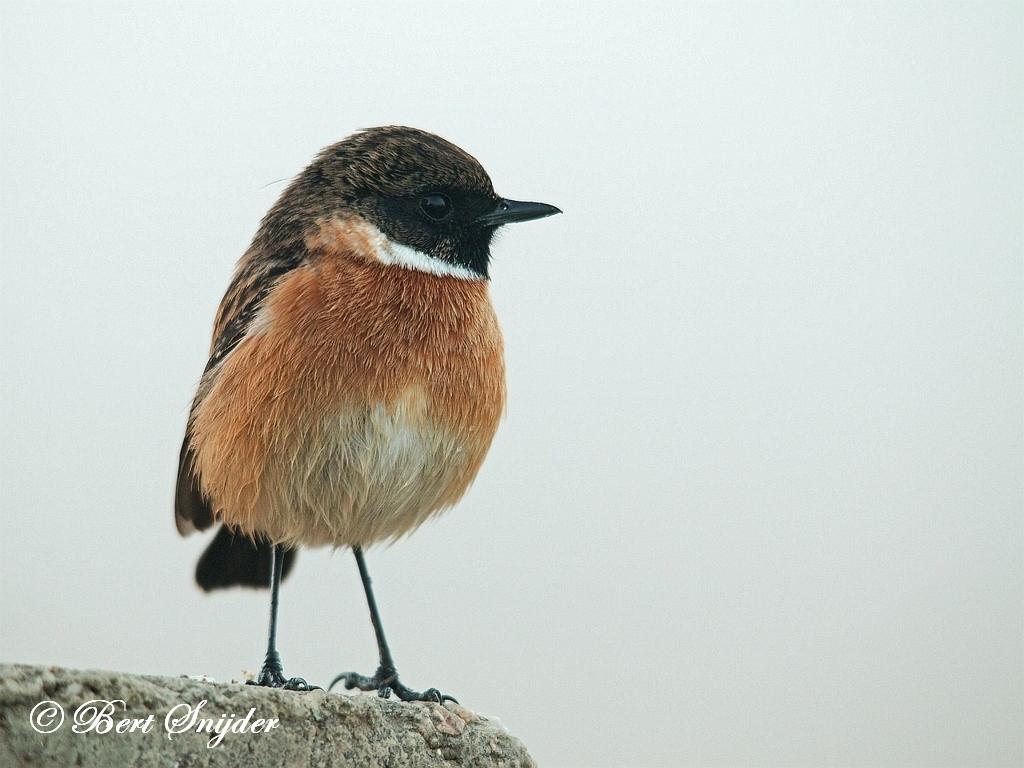 Roodborsttapuit Vogelreis Portugal