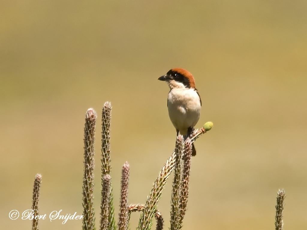 Roodkopklauwier Vogelvakantie Portugal