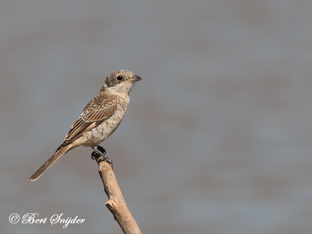 Roodkopklauwier Vogelreis Portugal