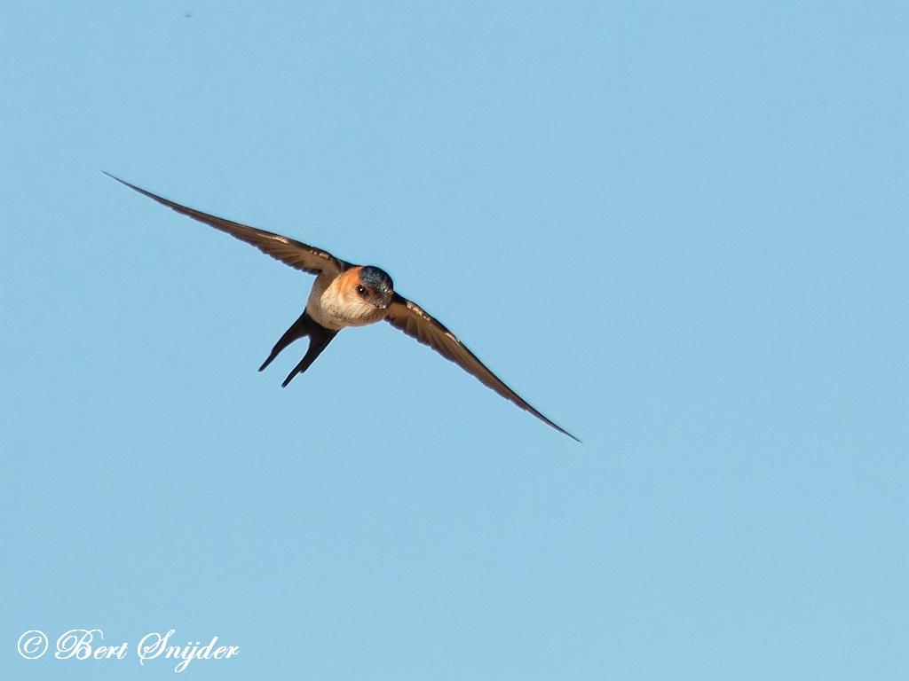 Roodstuitzwaluw Vogerlreis Portugal