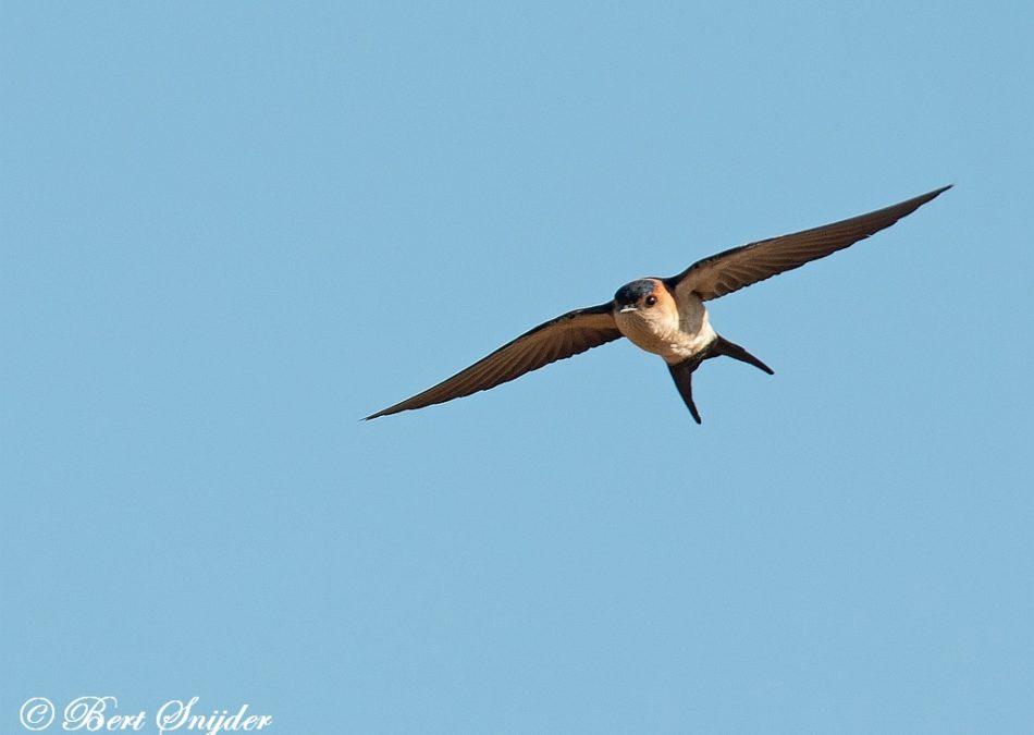 Roodstuitzwaluw Vogerlvakantie Portugal