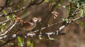Rosse Waaierstaart Vogelvakantie Portugal
