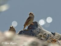 Rotsmus Vogelreis Portugal