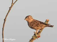 Rotsmus Vogelhut BSP5 Portugal