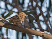 Rotsmus Vogelhut BSP4 Portugal