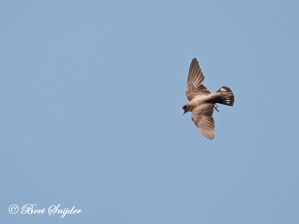 Rotszwaluw Vogelvakantie Portugal