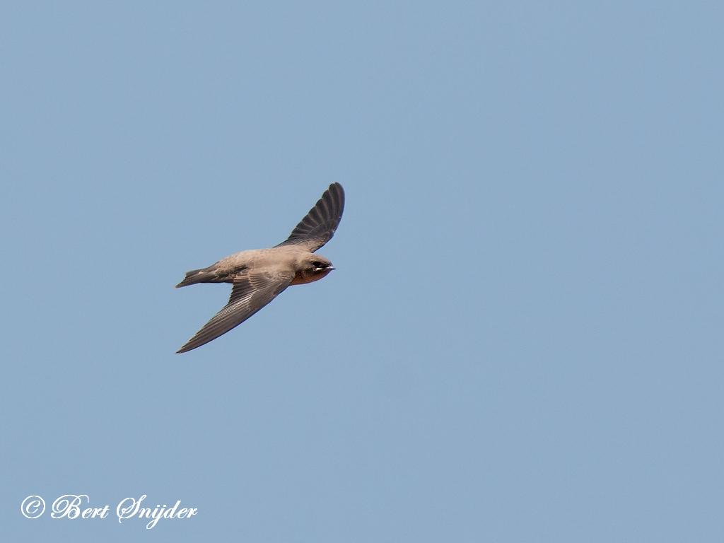 Rotszwaluw Vogelreis Portugal