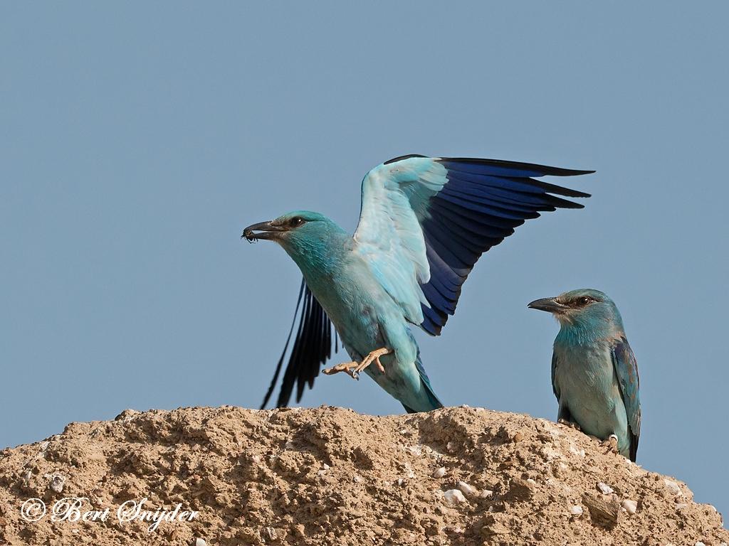 Scharrelaar Vogelhut BSP 6 Portugal